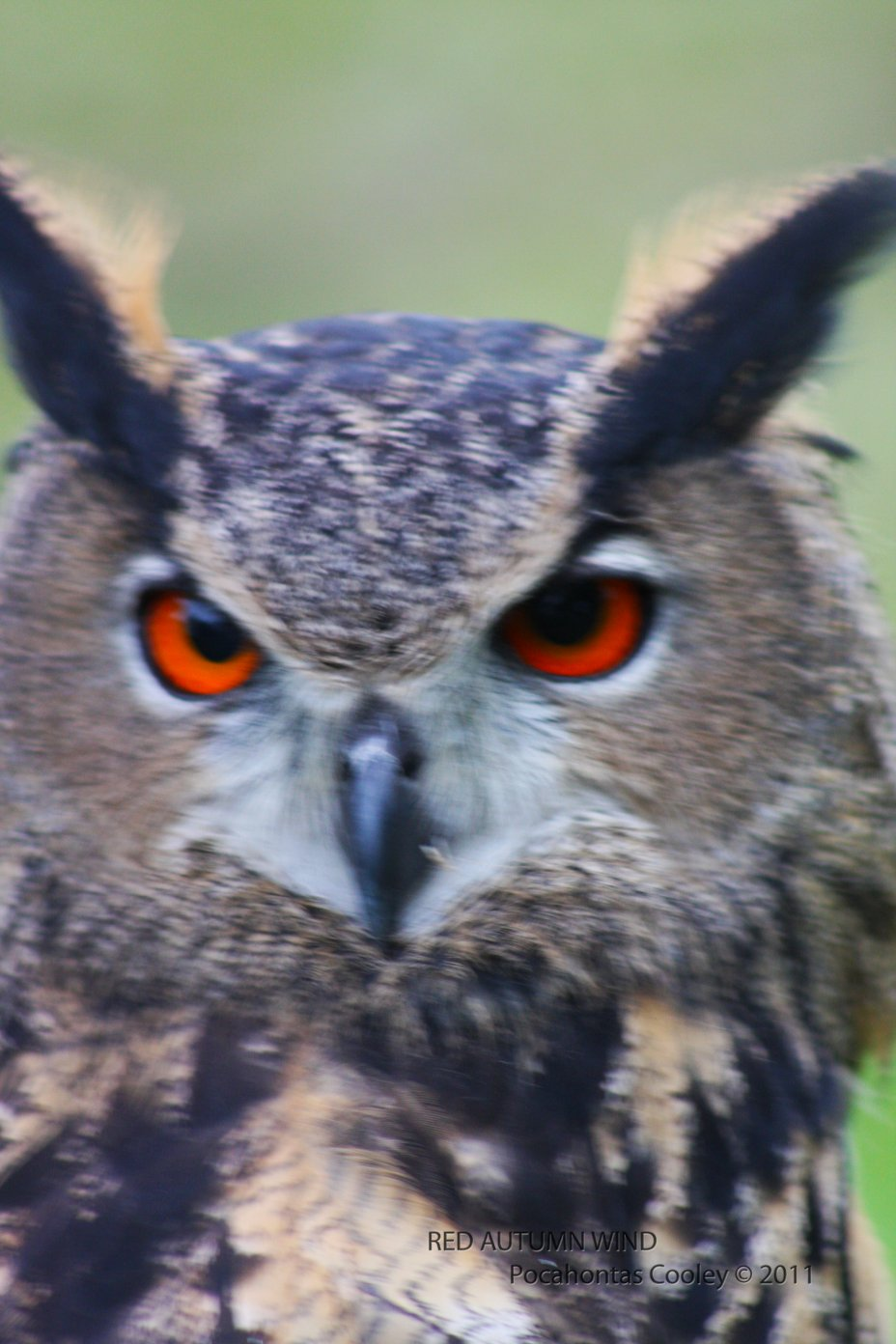 "The Great Horned Owl ""Bubo virginianus"""